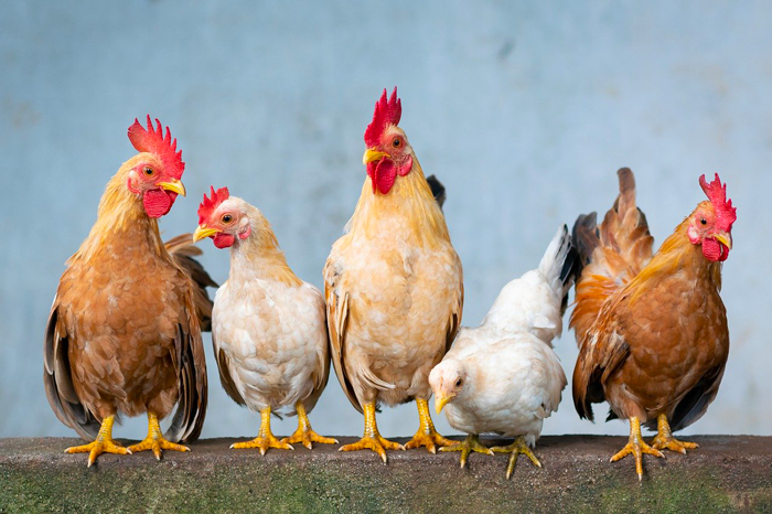 Poultry welfare and management
