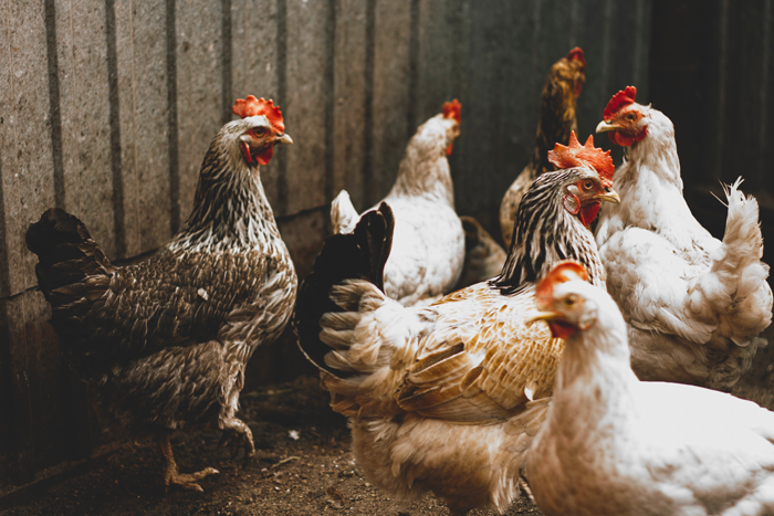 Small Scale Family Poultry Farming